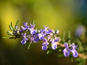 erbe-aromatiche-rosmarino